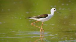 The Heron Walking On The Lake, Catching Fish Footage