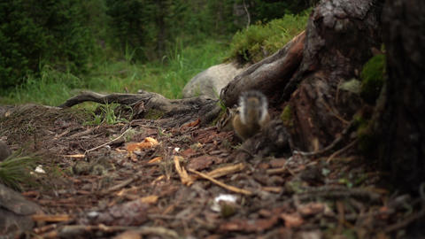 Siberian Chipmunks in forest Footage