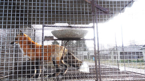 Red foxes in cages Footage