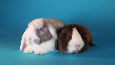 Rabbit lop and guinea pig resting together Live Action