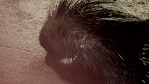 Porcupine in the Sand Footage