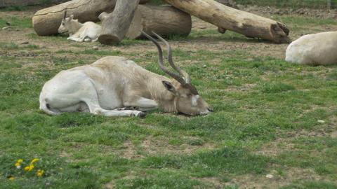 Kob Antelope Laying Footage