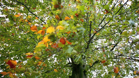 Colorful autumn leaves with strong wind in slow motion Footage