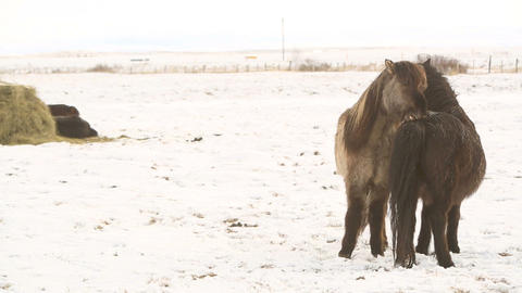 Icelandic horses take care of each other Footage