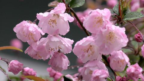 Malus Haliana flower blooming in raindrops ビデオ
