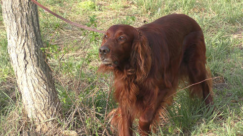 Dog Irish Red setter 영상물