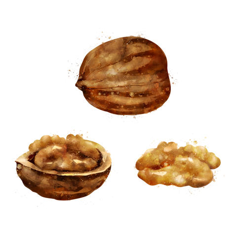 Walnut on white background. Watercolor illustration Photo