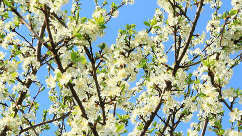Blossoming tree of plum on background of blue sky. Branch of blossoming plum Live Action