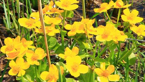 Caltha palustris growing in swamp. Spring flowers. Marsh Marigold flowers Footage