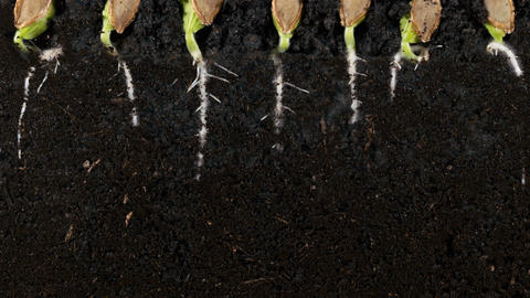 Germinating pumpkin seed roots underground vew with roots Footage