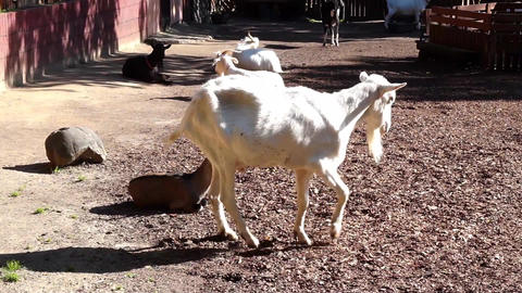 Goats Grazing On A Farm 002 Footage