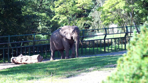 The African Bush Elephant At Zoo 01 Footage
