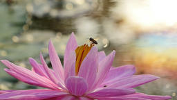 Bee on pink lotus in morning. (Slow motion) ビデオ