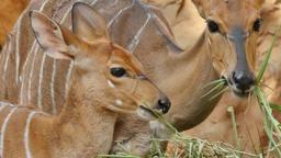 Close up on nyala antelope Footage