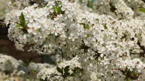 Zoom cherry blossom branches. Flowering branch is completely covered with Live Action
