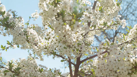 Blooming cherry tree branch and the sun's glares against blue sky background Footage