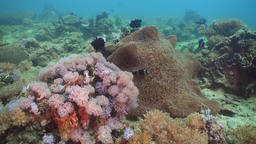 Clownfish Anemonefish in actinia Footage