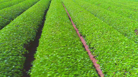 Beautifully lined Japanese tea plantation 영상물