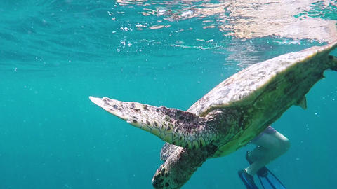 Large Green Sea Turtle Swimming Underwater at Beautiful Island Of Maldives in Archivo