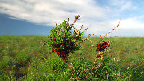 ladybugs crawl along the green branch in the field. sunny spring day Footage