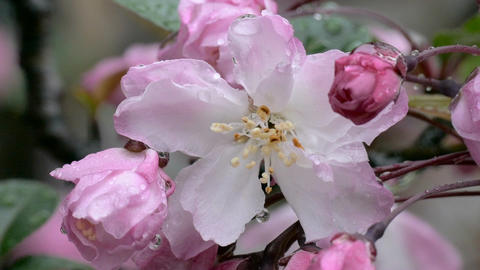 Zoom out shot from raindrops on blooming Malus Haliana flowers Footage