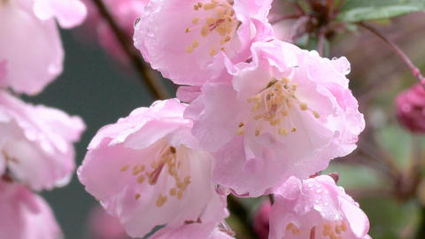 Zoom out shot from blooming Malus Haliana flower GIF