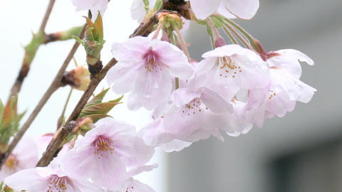 Zoom out shot from raindrops on Somei Yoshino cherry blossoms Footage