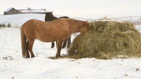 Icelandic horses eat hay in wintertime Footage