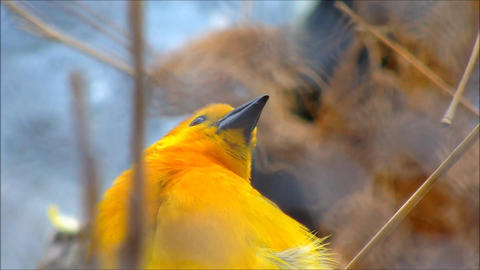 A close up of a male Taveta Weaver with his nest in the background Live Action