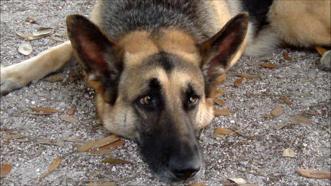 A German Shepherd dog looks sadly in the camera Live Action