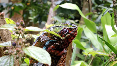 A colorful Panther Chameleon sits on a branch, twitching its eyes Footage
