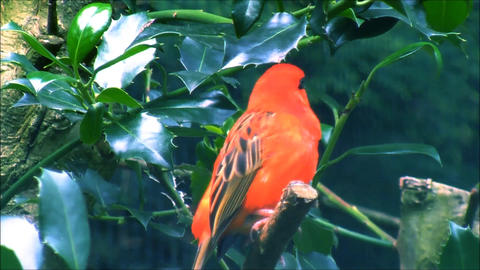 A male Red Fody sitting in a branch and singing Live Action