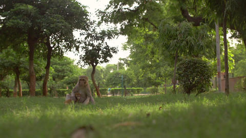 A monkey carrying her baby in a field Footage