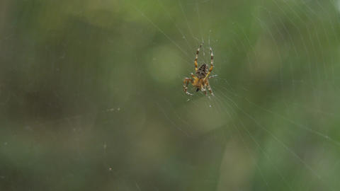 A spider eating a bug, then making defensive postures in... Stock Video Footage