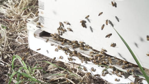 Bees buzz around a hive Footage