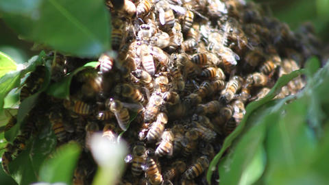Bees looking for a place to found a new hive Live Action