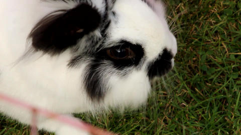 Black and white domestic rabbit eating grass Footage