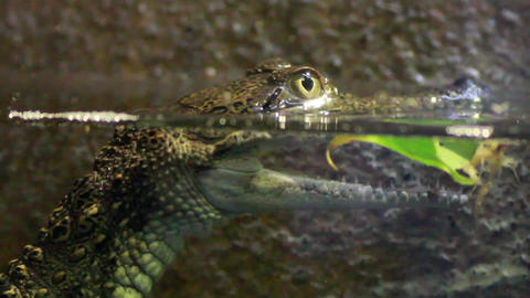 Baby crocodile bobbing up and down on the surface of the water Live Action