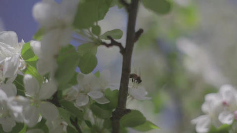 Exterior footage of a bee flying between blossoms Footage