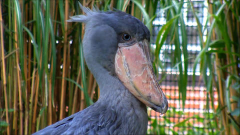 Exotic Shoebill looking in the camera Stock Video Footage