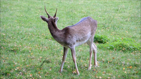 Shot of an immature Fallow Deer Stag Live Action