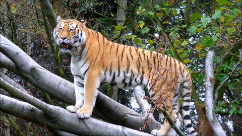 Siberian Tiger standing on large tree branch Footage