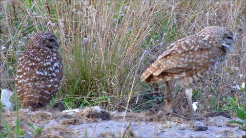 Pair of Burrowing Owls Footage