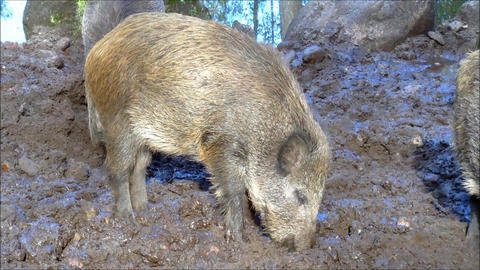 Some juvenile boars searching for food Live Action