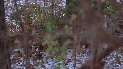 Tracking shot of a doe and her fawns in the woods Footage