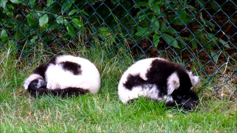 Two black and white ruffed lemurs in their zoo exhibit Footage