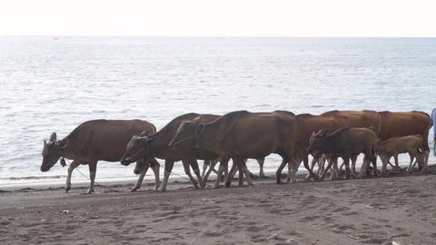 Woman Herding Banteng Cows by the Sea Live Action