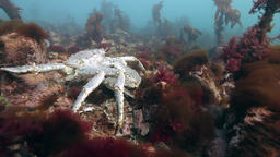Pairing Giant King crabs on seabed Footage