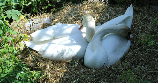 Mute Swans In Their Nest Footage