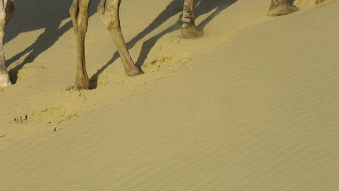 Striding camels Stock Video Footage